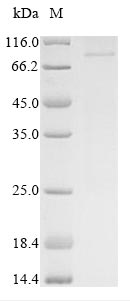 SDS-PAGE- Recombinant protein Human CTNNB1