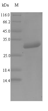 SDS-PAGE- Recombinant protein Mouse Defa1