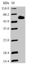 SDS-PAGE- Recombinant protein Human DMP1