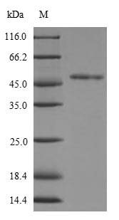 SDS-PAGE- Recombinant protein Human FGFR3