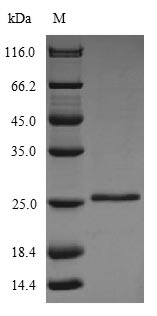 SDS-PAGE- Recombinant protein Bovine GLTP