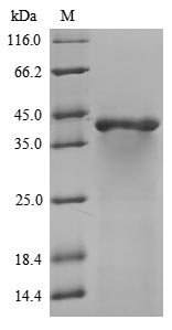 SDS-PAGE - Recombinant Mouse Gnao1