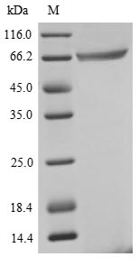 SDS-PAGE- Recombinant protein Human GSPT1