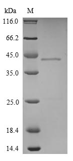 SDS-PAGE- Recombinant protein Mouse Hdgf