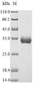 SDS-PAGE- Recombinant protein Rat Hmox1