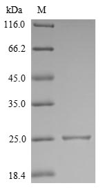 SDS-PAGE- Recombinant protein Mouse Il18