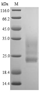 SDS-PAGE- Recombinant protein Human IL1A