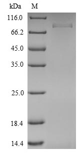 SDS-PAGE- Recombinant protein Mouse Ism1