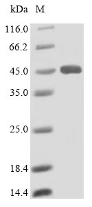 SDS-PAGE- Recombinant protein Human LIPA