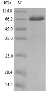 SDS-PAGE- Recombinant protein Human MAGEA10