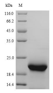 SDS-PAGE- Recombinant protein Mouse Mb