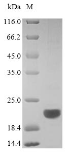 SDS-PAGE- Recombinant protein Mouse Ms4a1