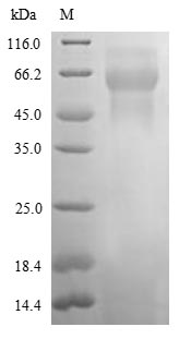 SDS-PAGE- Recombinant protein Rat Neo1