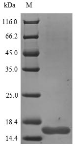 SDS-PAGE- Recombinant protein Rat Ngf