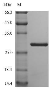 SDS-PAGE- Recombinant protein Mouse Nid1