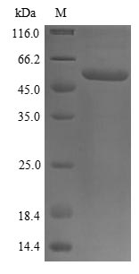 SDS-PAGE- Recombinant protein Human P4HB