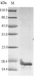 SDS-PAGE- Recombinant protein Human PIP