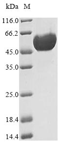 SDS-PAGE- Recombinant protein Dog PNLIPRP1