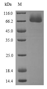 SDS-PAGE- Recombinant protein Human REL