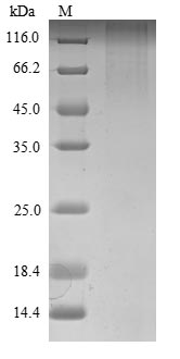 SDS-PAGE- Recombinant protein Mouse Robo1