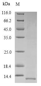 SDS-PAGE- Recombinant protein Human SFTPB