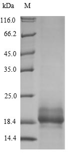 SDS-PAGE- Recombinant protein Human SPRR2B