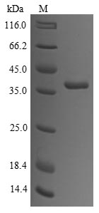 SDS-PAGE- Recombinant protein Rabbit TPM1