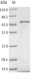 SDS-PAGE- Recombinant protein Human WNT2