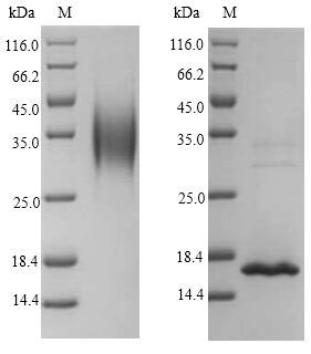 SDS-PAGE- Recombinant protein Macaca IL4