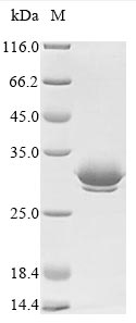 SDS-PAGE - Recombinant Viscum album Beta-galactoside-specific lectin 1