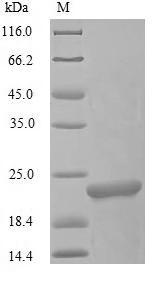 SDS-PAGE - Recombinant Oncorhynchus keta L-rhamnose-binding lectin CSL3
