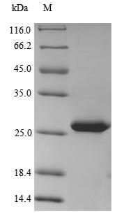 SDS-PAGE - Recombinant Hepatitis delta virus genotype I Large delta antigen
