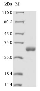 SDS-PAGE - Recombinant Synsepalum dulcificum Miraculin