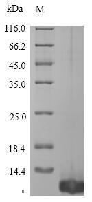 SDS-PAGE - Recombinant Ornithodoros moubata Tick anticoagulant peptide