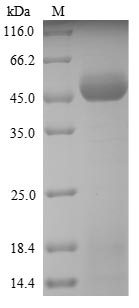 SDS-PAGE - Recombinant Ambrosia artemisiifolia Pectate lyase 5