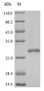 SDS-PAGE- Recombinant protein Human PRDX2