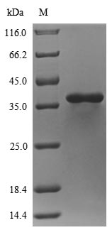 SDS-PAGE- Recombinant protein Staphylococcus hlb