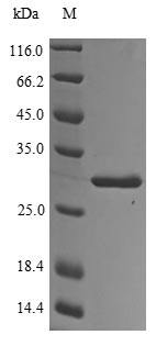 SDS-PAGE - Recombinant Bovine Odorant-binding protein