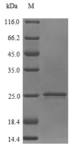SDS-PAGE- Recombinant protein Human PTGES3