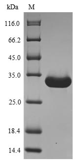 SDS-PAGE- Recombinant protein Mouse Ang4