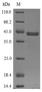 SDS-PAGE- Recombinant protein Pig IL4R