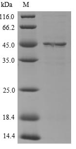 SDS-PAGE- Recombinant protein Mouse Serpina3n