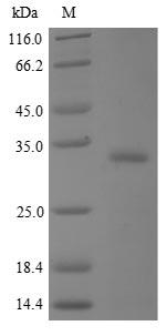 SDS-PAGE- Recombinant protein Human BPIFA2