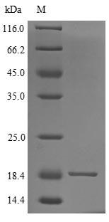 SDS-PAGE- Recombinant protein Human SLURP2