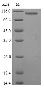 SDS-PAGE- Recombinant protein Mouse Gp2