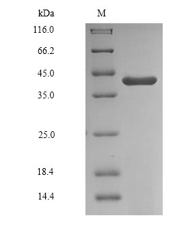 SDS-PAGE- Recombinant protein Human GAPDHS