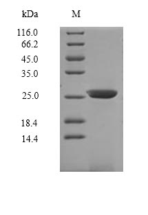 SDS-PAGE- Recombinant protein Mouse Il7r