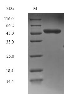 SDS-PAGE- Recombinant protein Human MAPK8
