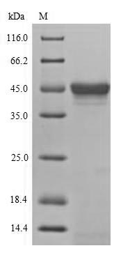 SDS-PAGE- Recombinant protein Drosophila bsk