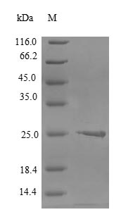 SDS-PAGE- Recombinant protein Human CLDN6
